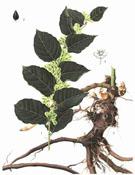 Коренът Фо-Ти (Fo-Ti Root) - извор на живота