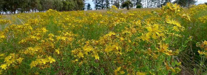 Жълт кантарион - вълшебната билка, лекуваща 99 болести