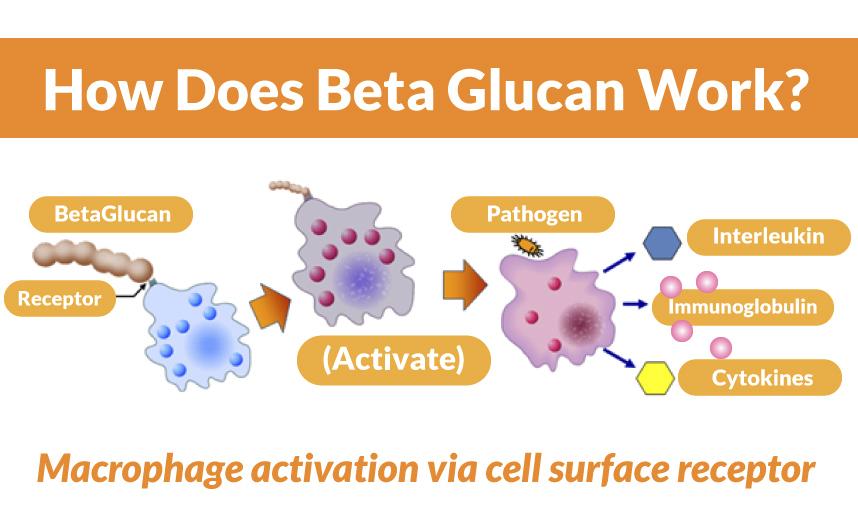 Бета глюкани и имунната система