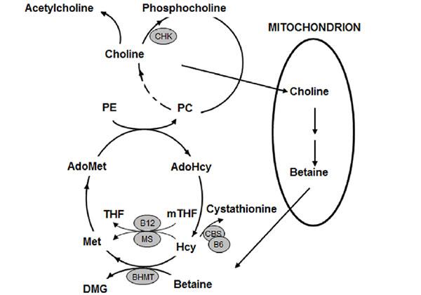 БЕТАИН и ХОЛИН - вещества, които предпазват от рак