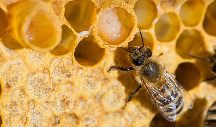 Хормонален фактор в пчелното млечице поддържа кожата млада