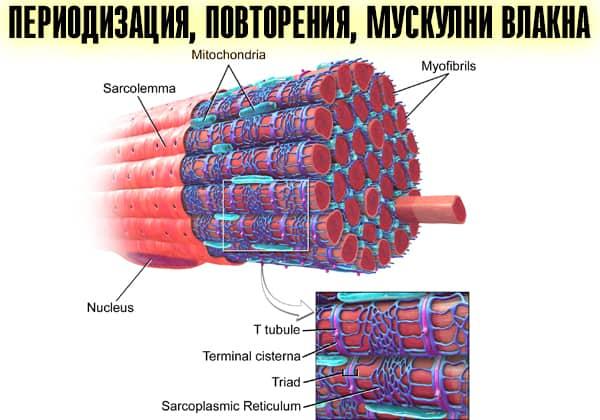 Периодизация, повторения, мускулни влакна